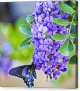 Swallowtail On Mountain Laurel Canvas Print