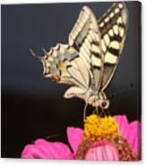 Swallowtail On Pink Flower  Canvas Print