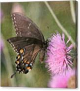 Swallowtail On Thistle Canvas Print