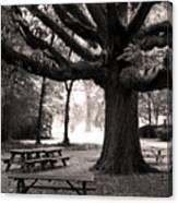 Swamp Chestnut Oak Tree-rosedale Plantation Canvas Print