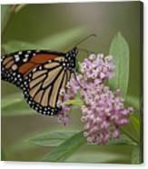 Swamp Milkweed Monarch Canvas Print