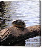 Swamp Turtle Canvas Print
