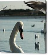 Swan And Gulls  Canvas Print