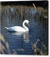 Swan In Blue Pond Canvas Print