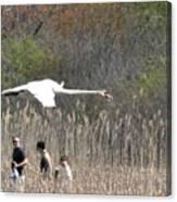 Swan In Flight Canvas Print