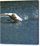 Swan Landing 2 Canvas Print
