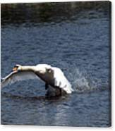Swan Landing 3 Canvas Print