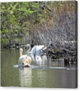 Swan Life Canvas Print