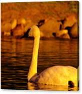 Swan Near Sundown Canvas Print