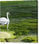 Swan On The River Lathkill Canvas Print