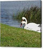Swan Pair As Photographed Canvas Print