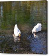 Swan Ripplle  Canvas Print