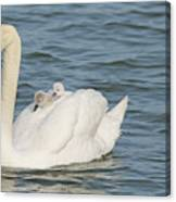 Mute Swan With Babies On Its Back Canvas Print