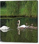 Swans At Two Months Canvas Print