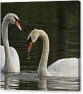 Swans Courtship Canvas Print