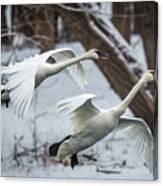 Swans Landing Canvas Print