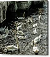 Swans On The Canal Canvas Print