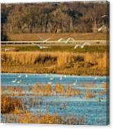 Swans Returning To The Roost At Riverlands 7r2_dsc3855_12202017 Canvas Print