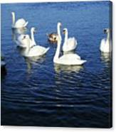 Swans Sligo Ireland Canvas Print