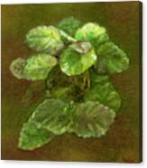 Swedish Ivy Canvas Print