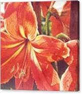 Sweet Amaryllis Canvas Print
