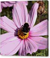 Sweet Bee On Pink Cosmos - Digital Art Canvas Print