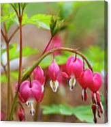 Sweet Bleeding Heart Canvas Print