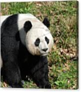 Sweet Chinese Panda Bear Sitting Down In Grass Canvas Print