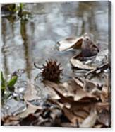 Sweet Gum Seed Pod In Mississippi Winter Canvas Print