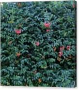 Sweet Trumpet Vine. Canvas Print