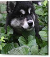 Sweet Markings On The Face Of An Alusky Puppy Dog Canvas Print