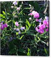 Sweet Pea In Tahoe Canvas Print