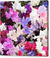 Sweet Pea Spencer Flowers Canvas Print