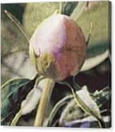 Sweet Pink Peony Bud Canvas Print