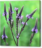 Sweet Vervain Canvas Print