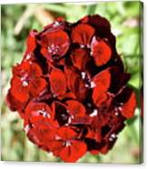 Sweet William Macro Canvas Print