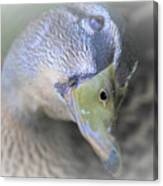 Sweetest Mallard Expression Canvas Print