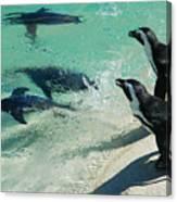 Swim Race - African Penquins Canvas Print