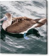 Swimming Booby Canvas Print