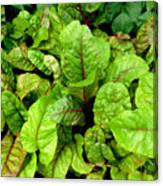 Swiss Chard In A Vegetable Garden 4 Canvas Print