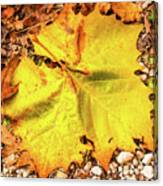 Sycamore Leaf  In Fall Canvas Print