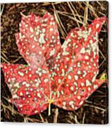 sycamore maple Autumn leaf Canvas Print