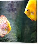 Symphysodon Discus Fishes Canvas Print