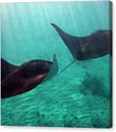 Synchronized Swimming Canvas Print