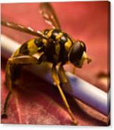 Syrphid Fly Poised Canvas Print