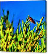 Syrphid Fly  Canvas Print