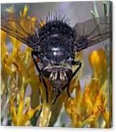 Tachinid Fly Canvas Print