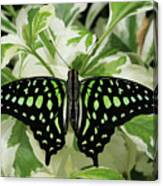 Tailed Jay Butterfly #2 Canvas Print