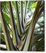 Talipot Palm Canvas Print