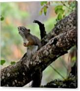Talking Squirrel Canvas Print